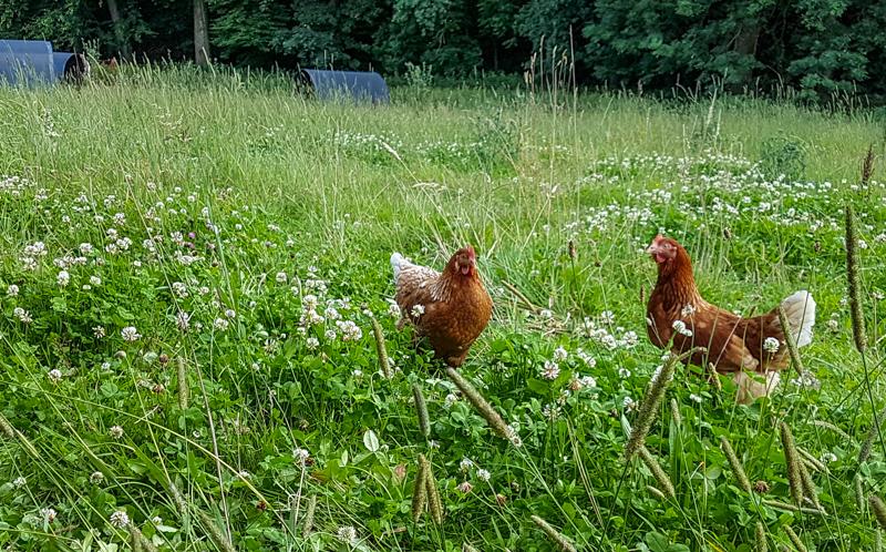 Hühnerweide