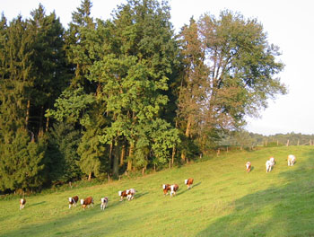 Kühe Rindfleisch Jungvieh Weide Hinterau Biohof Lecker Ökokiste